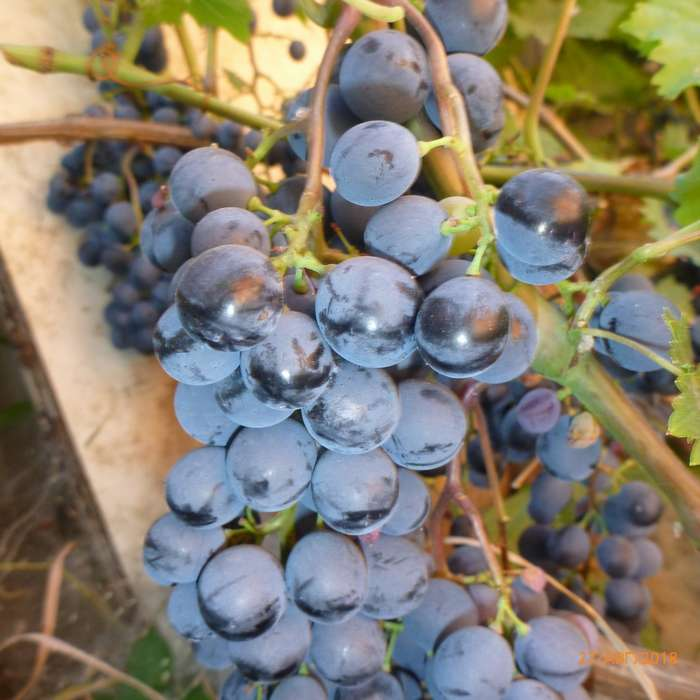 Сорт винограда маникюр фингер фото и описание