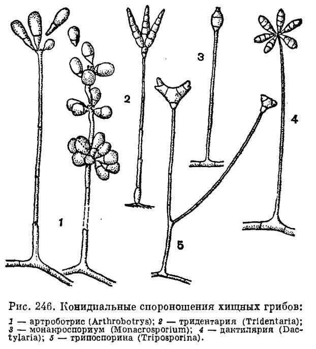 Виды грибов: названия, описание, какие бывают, фото