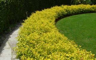 Спирея голд флейм – выращиваем красивый декоративный кустарник в своем саду