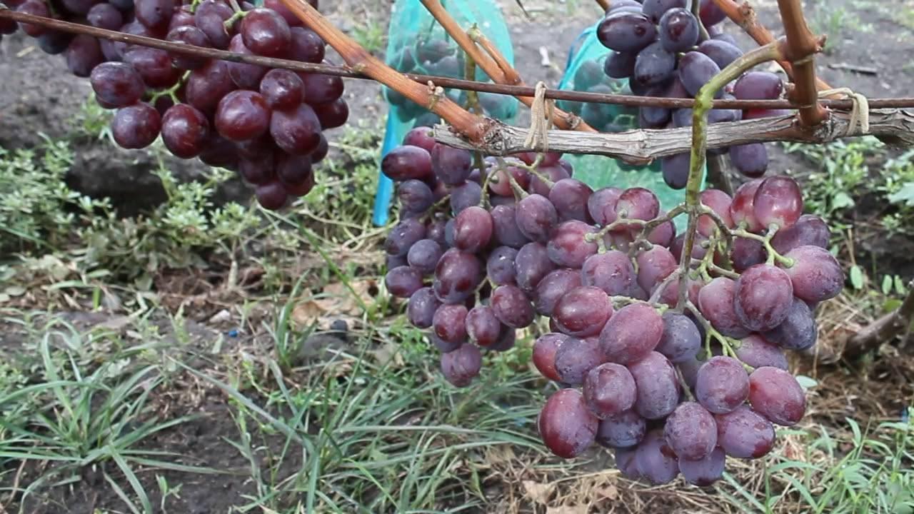 """Виноград """"эверест"""": описание сорта, фото, отзывы, видео"""