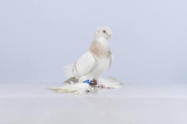 Описание бойных пород голубей: особенности полета, характеристика, содержание