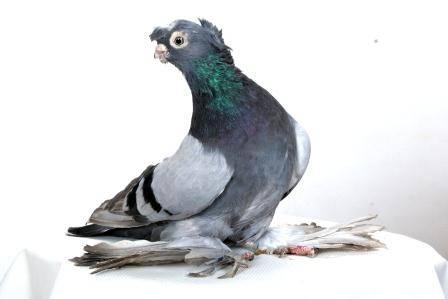 Все о двухчубых голубях: внешний вид, происхождение и разновидности