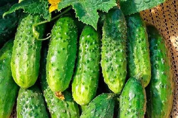 Огурец гинга f1 – высокоурожайный гибрид с отличным вкусом плодов