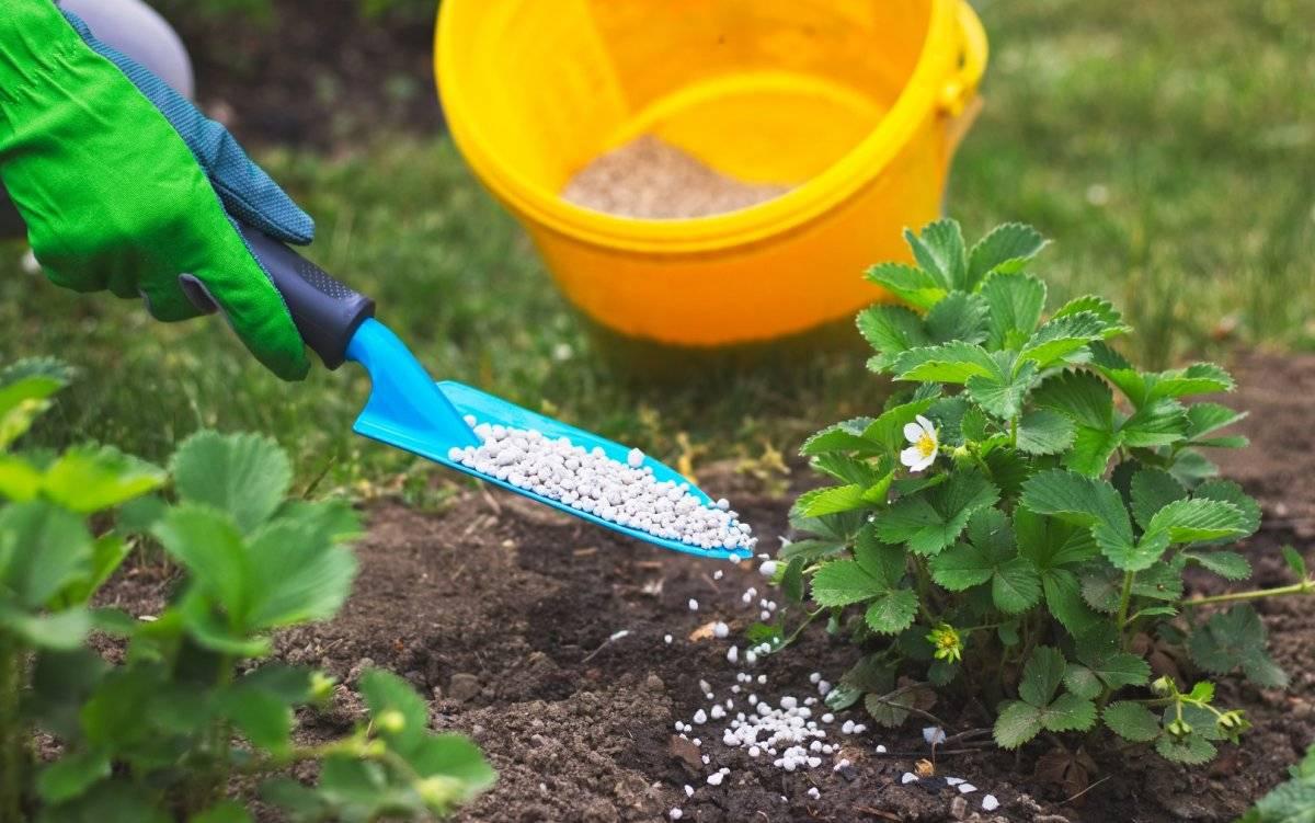 Подкормка клубники весной, когда и как правильно делать, а также, чем удобрять до цветения