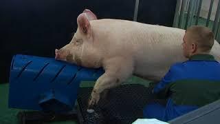 Осеменение свиней искусственным методом: пошаговое описание процесса, основные преимущества