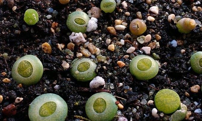 Литопсы из семян в домашних условиях: посев и уход, пересадка взрослого растения