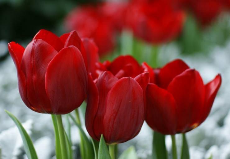 Как хранить луковицы тюльпанов в домашних условиях: рассказываем суть