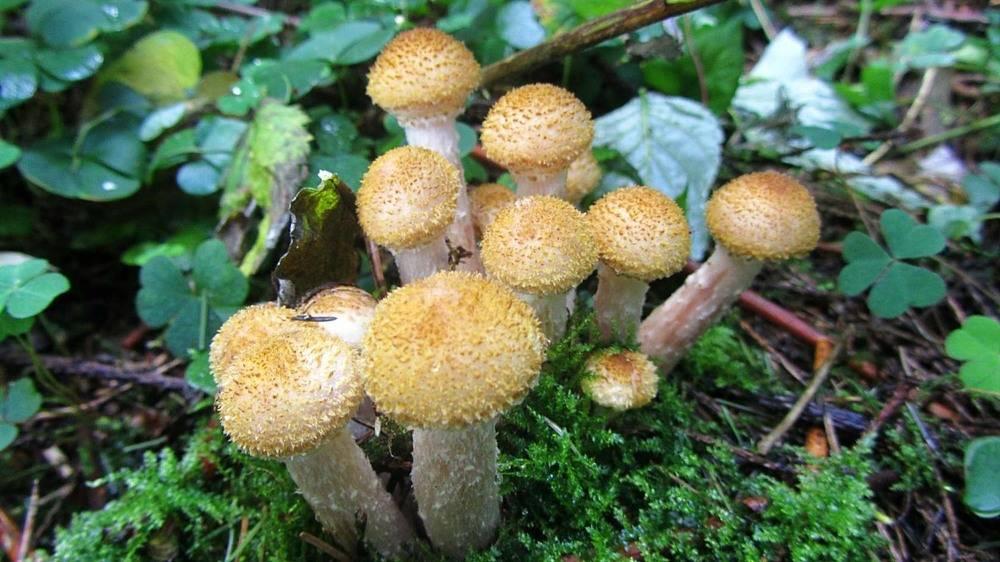 Грибы опята на кубани фото как выглядят грибы - дневник садовода parnikisemena.ru