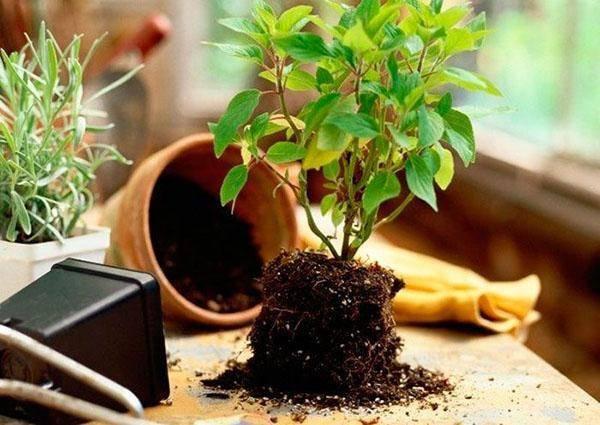 Дерево хурма из семян в домашних условиях