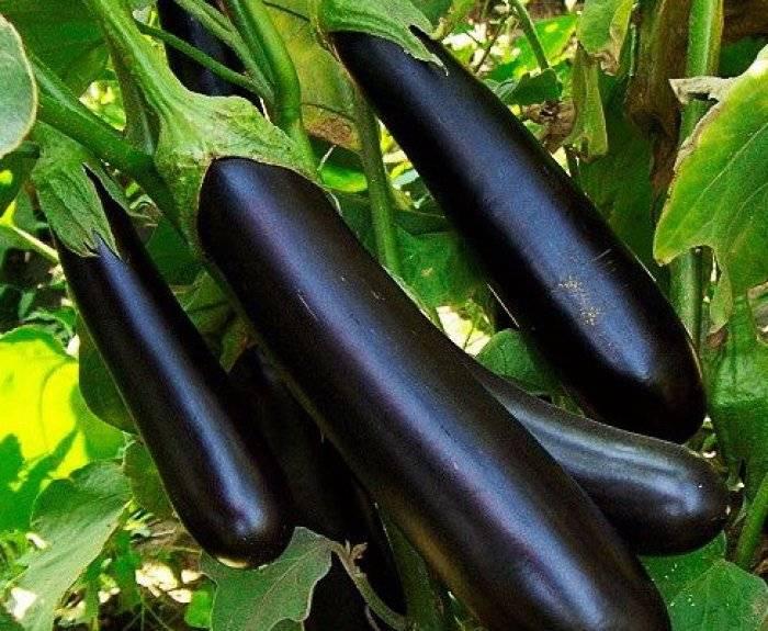 Баклажан клоринда: описание сорта, фото, отзывы, характеристика, урожайность