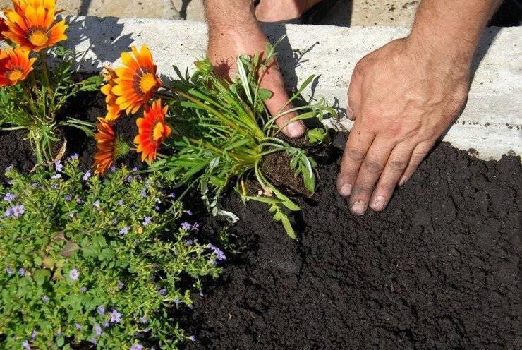 Как вырастить гацанию из семян в открытом грунте?