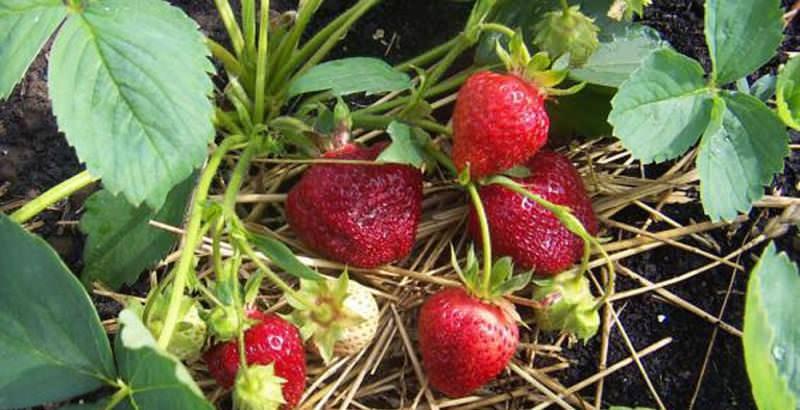 Лучшие сорта для выращивания клубники в сибири