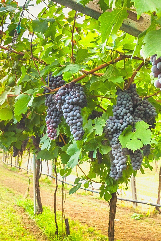 Виноград посадка и уход в подмосковье средней полосе россии: выращивание, обрезка, обработка и унрытие на зиму