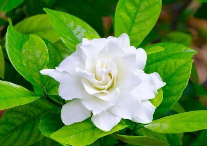 Гардения жасминовидная – выращивание из семян, особенности растения