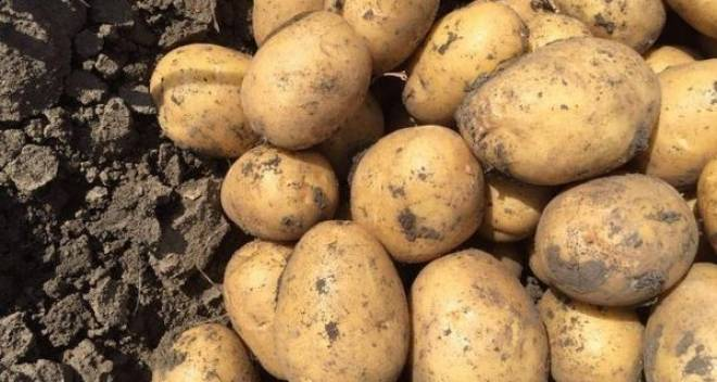 Подробное описание и характеристика сорта картофеля колетте