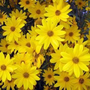 Цветы сентябринки: размножение, посадка и уход, фото популярных сортов
