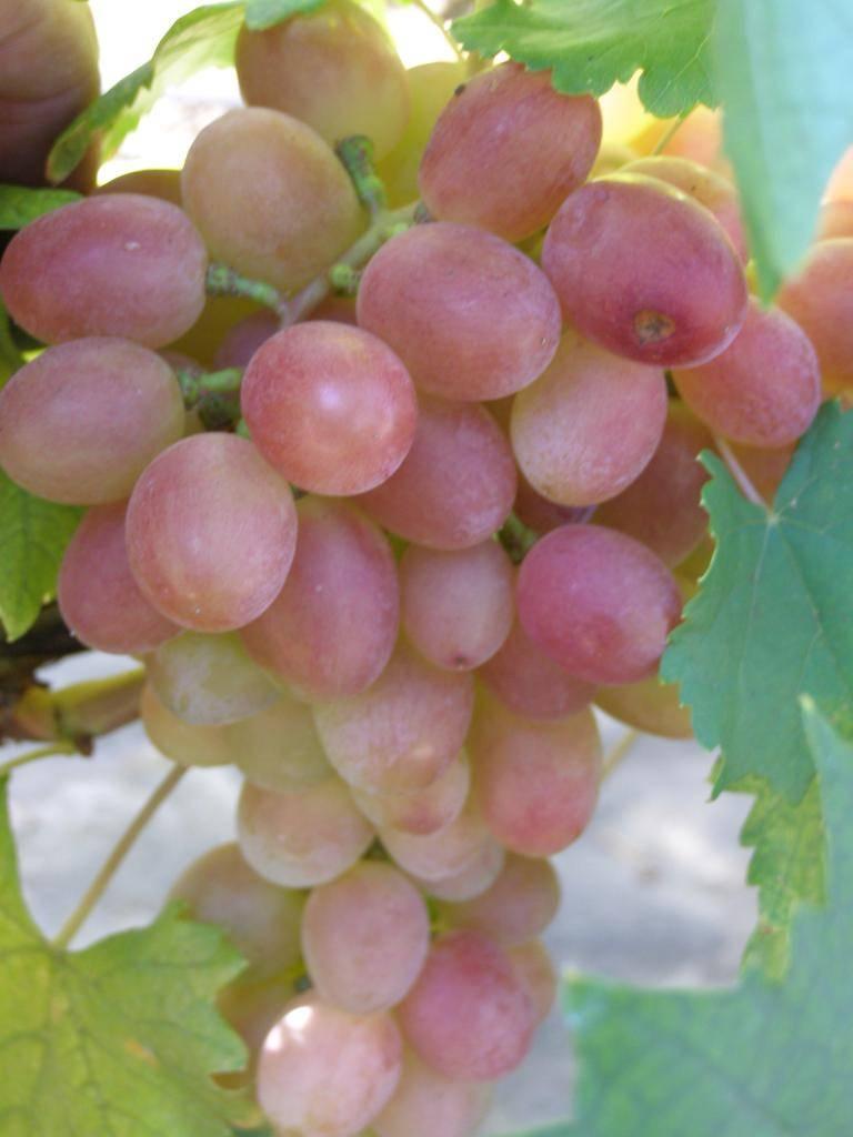 Виноградный сорт гурман ранний: что нужно знать о нем, описание сорта, отзывы