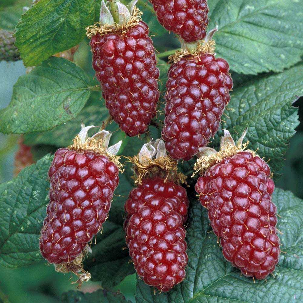 Ежемалина садовая: характеристики, посадка и уход, популярные сорта