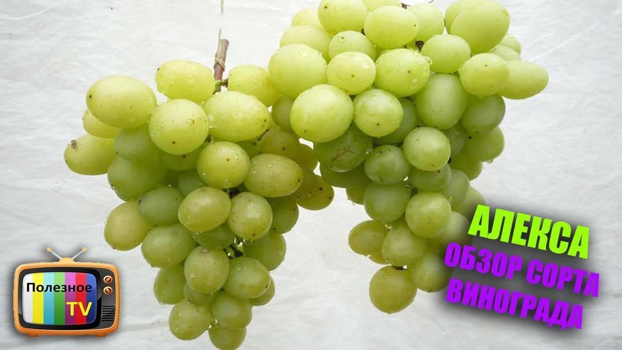 Виноград алекса: история селекции, достоинства и недостатки, описание сорта, выращивание, отзывы