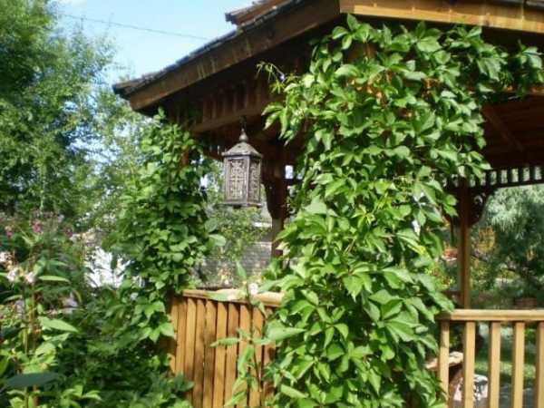 Девичий виноград — посадка и уход за растением