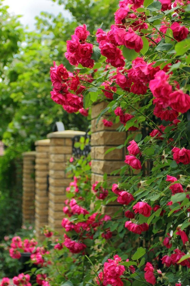 Обрезка кустовых роз на зиму