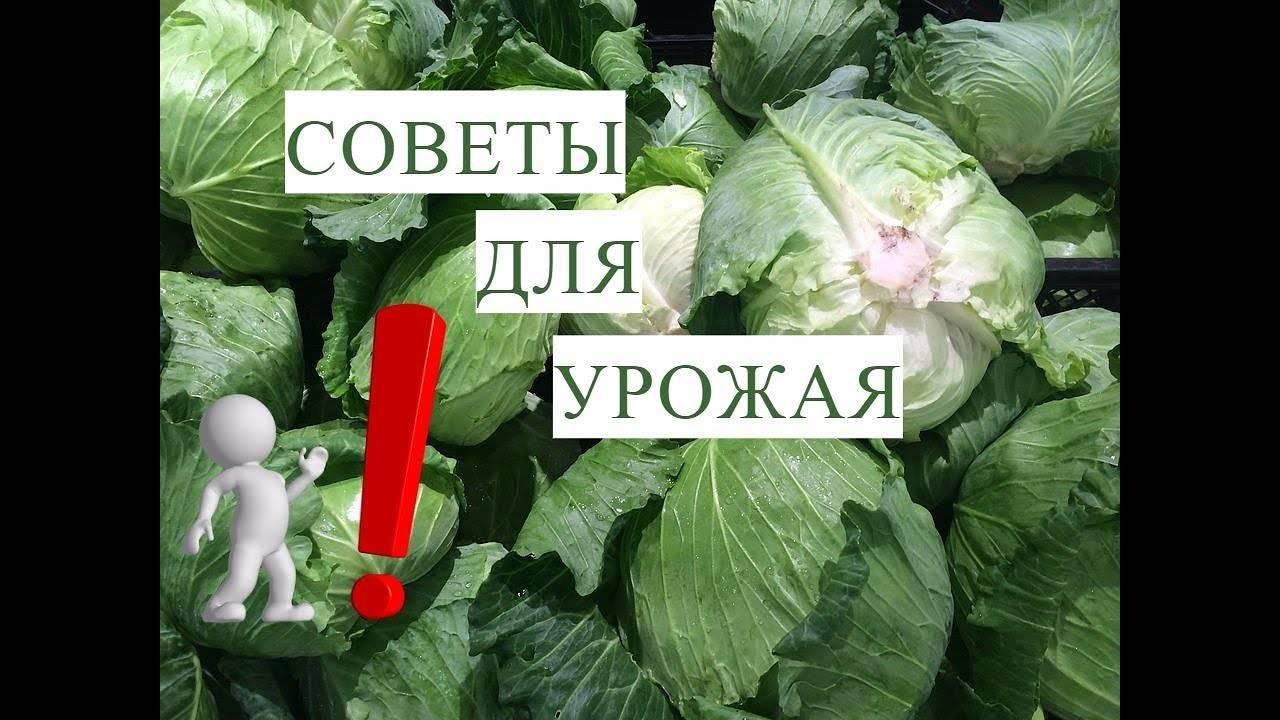 Как посадить капусту по методу юлии миняевой под бутылки