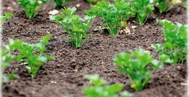 Как и когда сажать петрушку в открытый грунт весной: схема и правила посадки