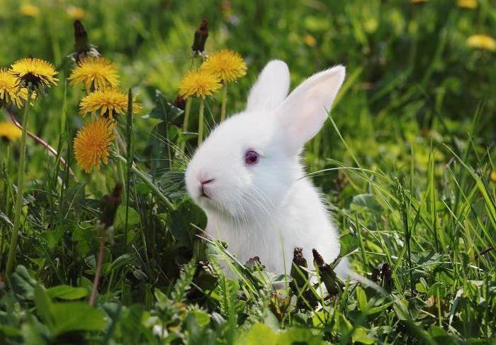 Одуванчик – вкусное дополнение рациона кролей