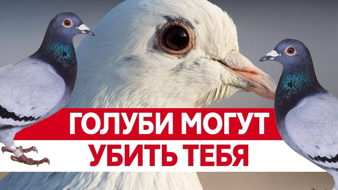 Какие болезни переносят голуби, передающиеся человеку