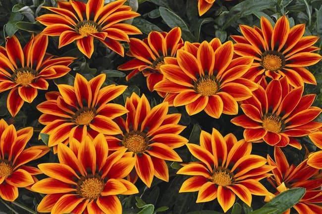 Цветок гацания: посадка и уход в открытом грунте, виды и сорта с фото