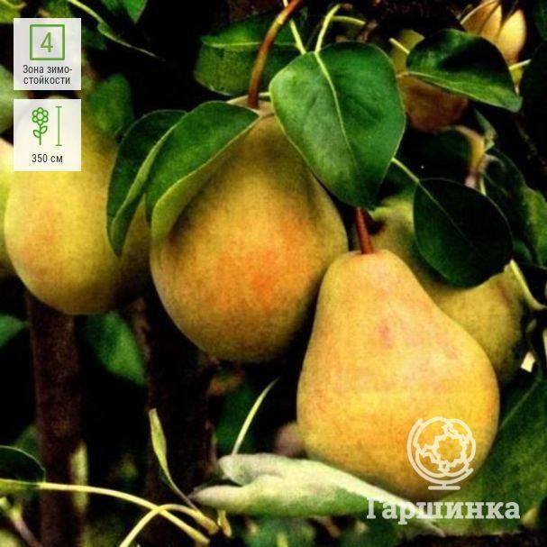 """Груша """"декабринка"""": описание сорта и фото, характеристики, особенности выращивания selo.guru — интернет портал о сельском хозяйстве"""