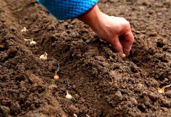 Правильная посадка лука севка весной: как посадить и вырастить лук на головку и на зелень. | спутниковые технологии