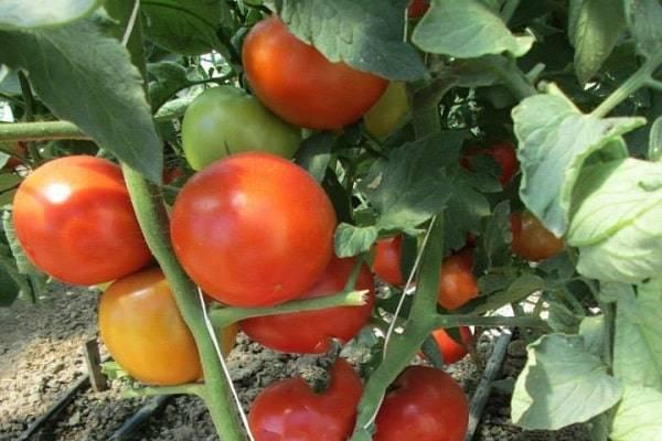 """Томат гравитет - описание сорта, урожайность, фото и отзывы садоводов - журнал """"совхозик"""""""