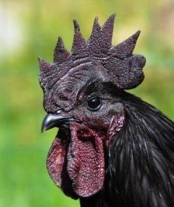Порода кур ухейилюй: описание, фото, отзывы