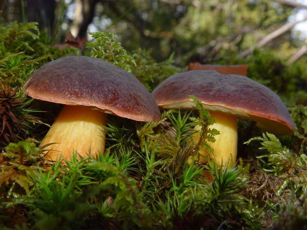 Каштановый гриб (каштановик) – описание и фото