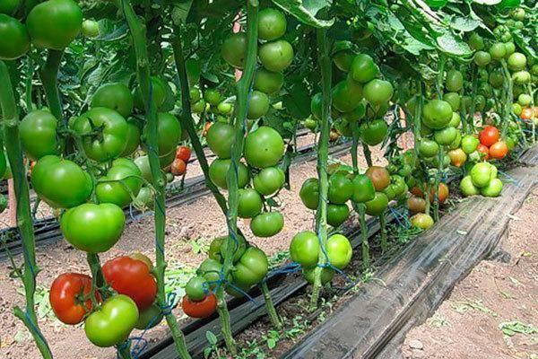 Томат татьяна: отзывы, фото, урожайность, описание и характеристика