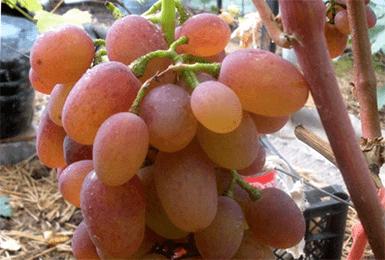 """Виноград """"зарница"""": описание сорта с фото и видео"""