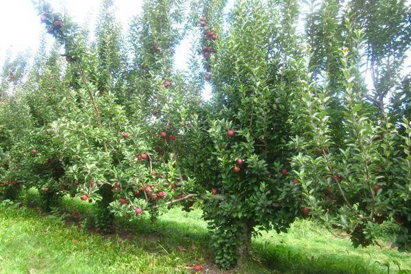Обрезка молодых яблонь весной, летом и осенью: схемы и видео