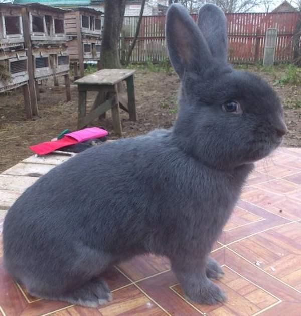 Венский голубой кролик — википедия. что такое венский голубой кролик