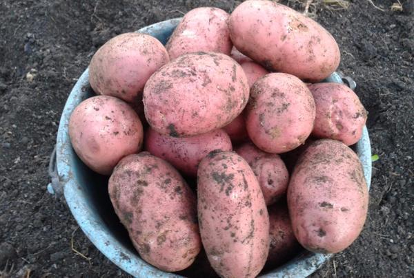 Картофель голубизна: характеристика сорта, отзывы (фото)