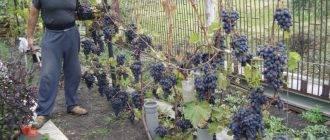 """Виноград """"кодрянка"""": описание сорта, фото, уход, отзывы"""