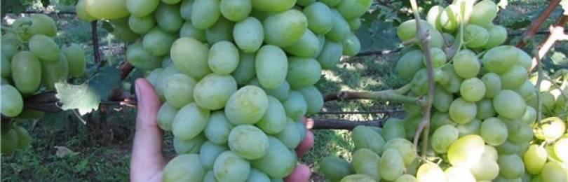 Виноград подарок запорожью: селекция, описание сорта, посадка и уход, достоинства, отзывы