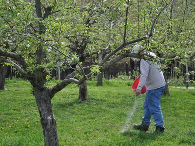 Весенняя подкормка яблонь: чем удобрять, уход