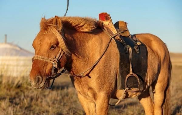 Монгольская порода лошадей   мои лошадки