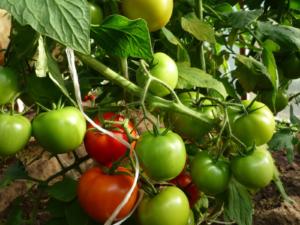 Сорт помидор видимо невидимо отзывы и фото