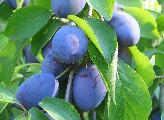 Слива скороплодная — описание сорта, фото, отзывы садоводов
