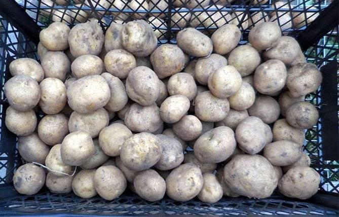 Картофель венета: описание сорта, фото, отзывы, сроки созревания