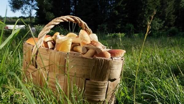 Грибы кемеровской области 2020: когда и где собирать, сезоны и грибные места
