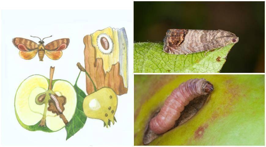 Яблоневая плодожорка: меры борьбы с вредителем