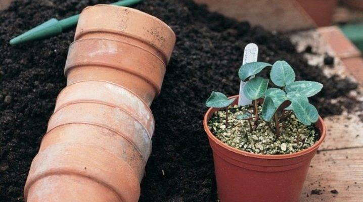 Выращивание цикламена в домашних условиях и уход за ним: при соблюдении каких правил нужно разводить цветок, а также как бороться с болезнями и вредителями? selo.guru — интернет портал о сельском хозяйстве